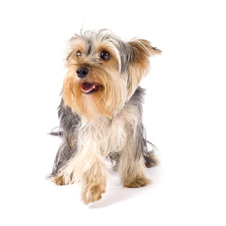 uncombed: uncombed puppy yorkshire terrier over white background