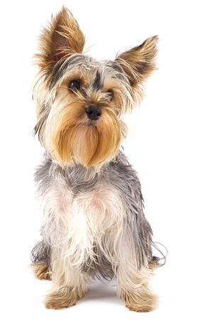 picture of a very cute  Yorkshire Terrier in front of a white background Stock Photo - 6344398