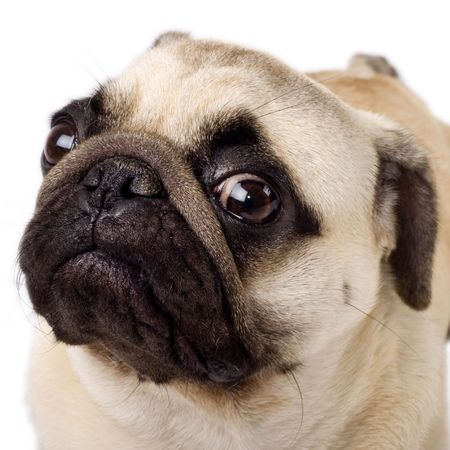 pal: A closeup of a pug isolated on white
