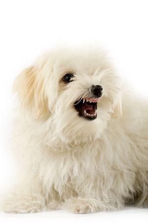 vicious: a very intimidating bichon maltese showing its teeth