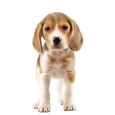 beagle puppy: Beagle (2 months) in front of white background