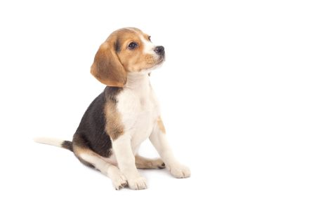 beagle puppy: Beagle puppy sitting in front of white background