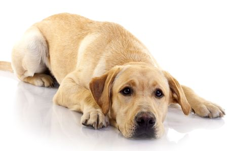 sad dog:  cream labrador retriever on white back ground  Stock Photo