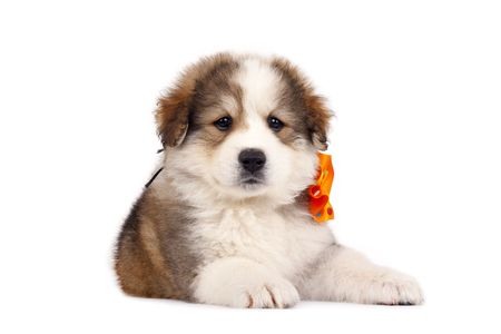 picture of a small bucovinean shepard puppy over white Stock Photo - 6825680