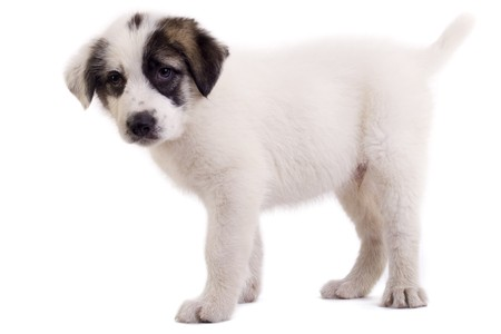 backgraound: bucovinean shepard puppy standing on a white backgraound  Stock Photo