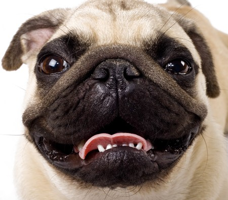 carlin: closeup picture of a pugs face looking at the camera