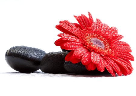 gerber: red gerber daisy and pebbles isolated on white - spa concept Stock Photo