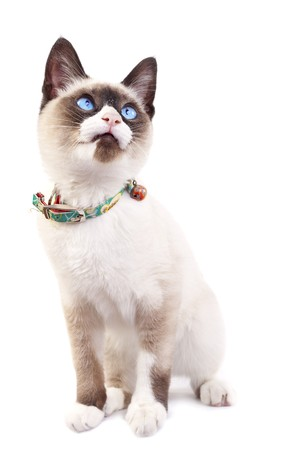 siamese cat: Siamese kitten looking up in front of a white background