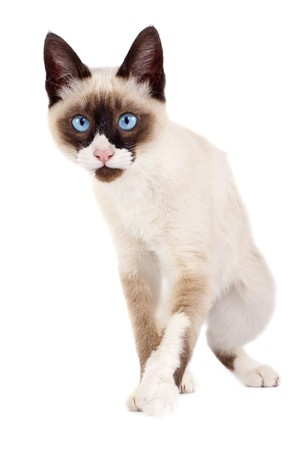 picture of a siamese cat ready to attack over white photo