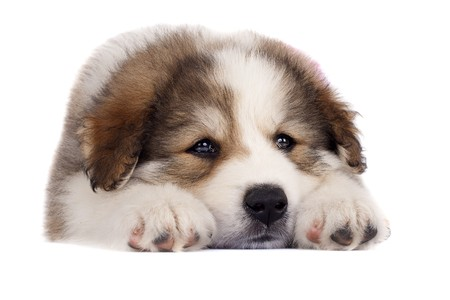 sheperd: picture of a sleepy bucovinean sheperd puppy standing on a white background