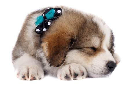 small bucovinean shepard puppy wearing a green and black neck bow sleeping Stock Photo - 7132225