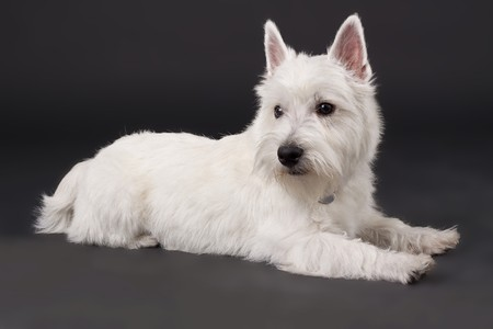 West Highland White Terrier (5 months) in front of black background photo