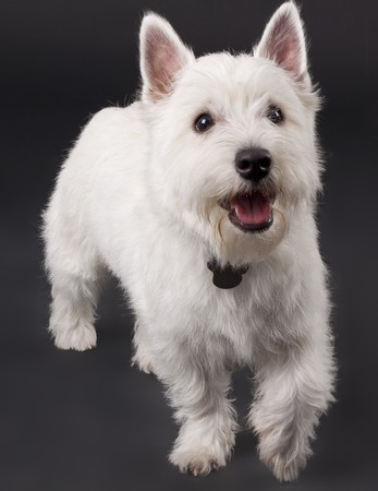 picture of a curious West Highland White Terrier (5 months) photo