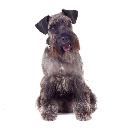 jumbled: small curious Schnauzer (1 year) in front of a white background