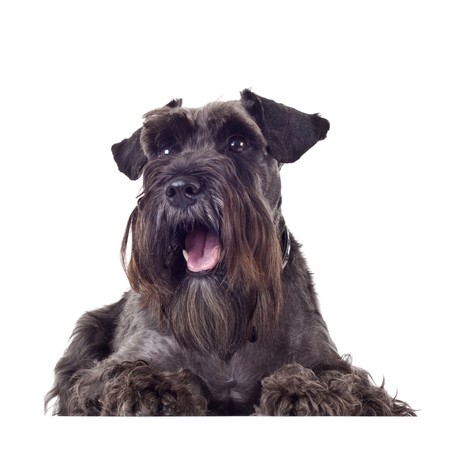 surprised dog: small schnauzer (1 year) in front of a white background looking at something in the upper corner and being surprised