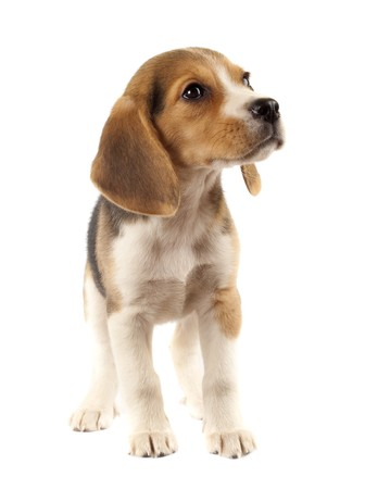 sad little beagle puppy standing on white background photo