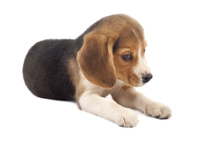 sad beagle puppy (3 months) in front of white back ground  photo