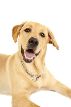 Retriever Labrador dog of a yellow ivory creme shade in studio  photo