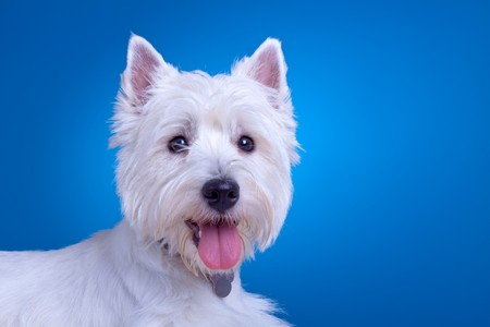 highland: face of a west highland terrier against a blue background Stock Photo