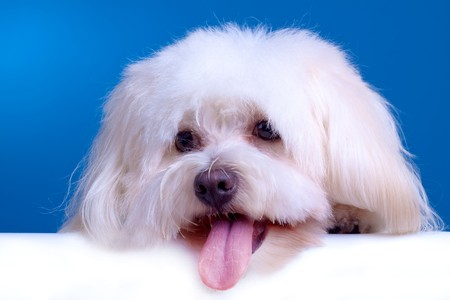 cute face of a bichon with tongue exposed over blue background photo