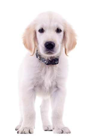 cute golden labrador retriever standing and looking a little sad Stock Photo - 7574581
