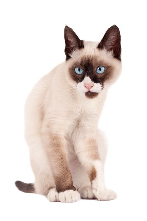 cute young siamese cat looking at the camera photo