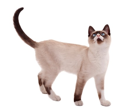 siamese cat: picture of a cute siamese cat standing on white, looking for something Stock Photo