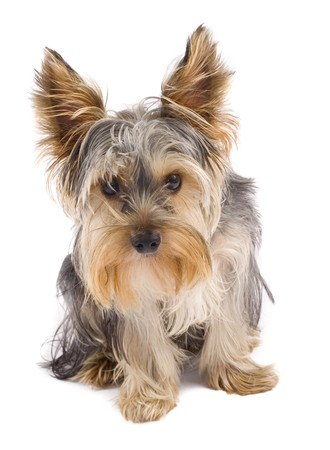 curious yorkshire terrier puppy standing on white background looking at the camera photo