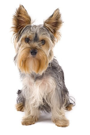 head tilted: Yorkie puppy isolated on white with its head tilted  Stock Photo