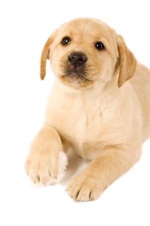 labrador puppy on white background with one of the paws on a furr ball  photo