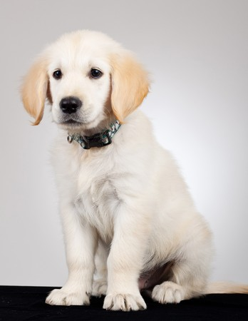 picture of a cute but sad labdrador retriever puppy sitting Stock Photo - 7735875