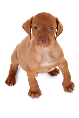 hungarian pointer:  Hungarian Vizsla pointer puppy seated and looking up to the camera Stock Photo