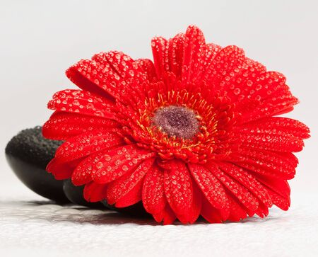 red gerber daisy and pebbles isolated on white - spa concept  photo