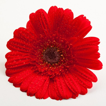 closeup picture of a Red Gerber Daisy flower photo