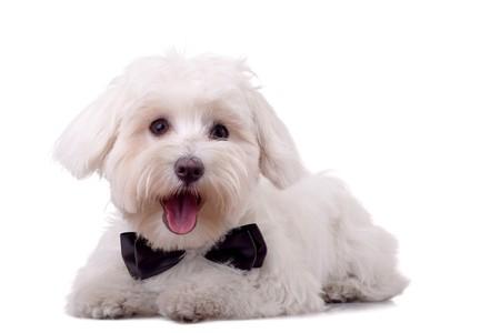maltese dog lying on a white background Stock Photo - 8043247