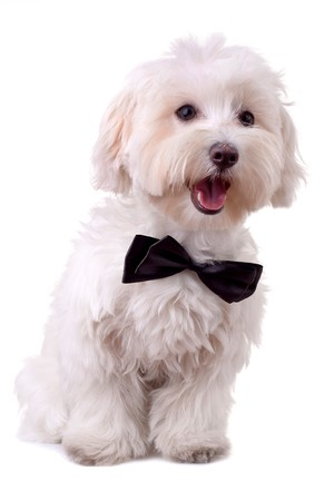 pet grooming: bichon maltese with mouth open and neck bow over white Stock Photo