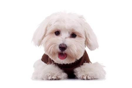maltese dog: Bichon puppy with clothes isolated on white , looking at the camera Stock Photo