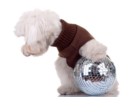 bichon maltese playing with a disco ball on a white background Stock Photo - 8043203