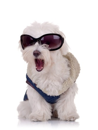 bichon: picture of a bichon maltese wearing clothes and sunglasses and keeping its mouth open