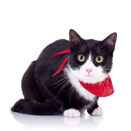 neck scarf: cute black and white cat with red scarf on its neck posing