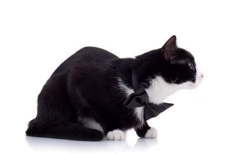 cute black and white cat wearing a neck bow ready for attack Stock Photo - 8043252