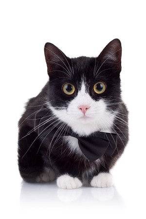 cute black and white cat wearing a neck bow looking at the camera Stock Photo - 8043296