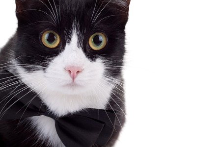closeup picture of a cute black and white cat wearing a neck bow looking at the camera Stock Photo - 8043303