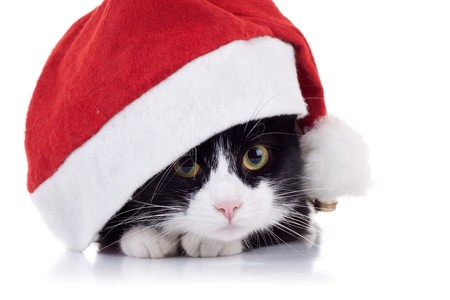 closeup picture of a cute black and white cat wearing a christmas hat Stock Photo - 8043304