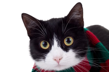 closeup picture of a cute black and white cat wearing a christmas muffler photo