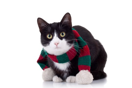 christmas cat wearing a red and green muffler over white photo