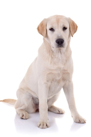 воротник: labrador retriever puppy seated on a white background