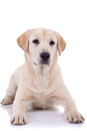 seated Puppy Labrador retriever cream in front of white background  photo