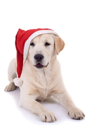 curious labrador retriever puppy wearing a santa hat over white Stock Photo - 8198520