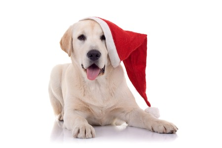 lap dog: labrador retriever with red Santa Claus hat on white background.  Stock Photo